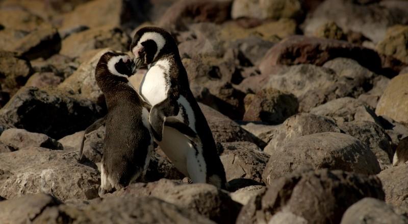 kiss-rock-penguin